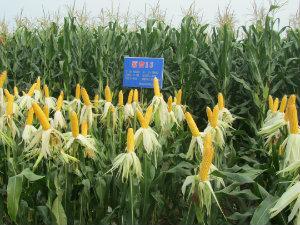 玉米要高产 源育13是首选